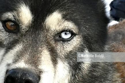 La Grande Odyssée Savoie Mont-Blanc. Le chien de traîneau : avant tout un athlète de haut niveau lui aussi ! ©Nathalie Baldji